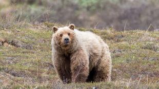 Niedźwiedź nie mógł zasnąć, więc wyruszył na łowy. Będzie głodny