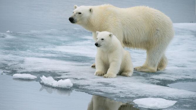 Niedźwiedzie polarne zmieniają swoją dietę. <br />Z powodu zmian klimatu