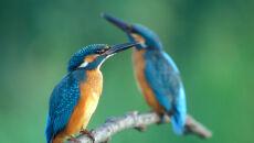 Jeden z najbardziej kolorowych ptaków - zimorodek