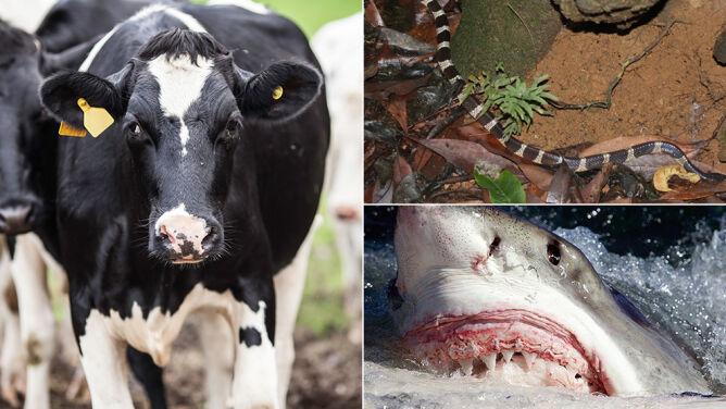 Gryzą, kąsają, żądlą, tratują. <br />Te zwierzęta są najgroźniejsze dla ludzi