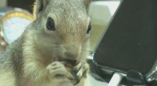 Wiewiórka dzielnie chroni kasy jubilera